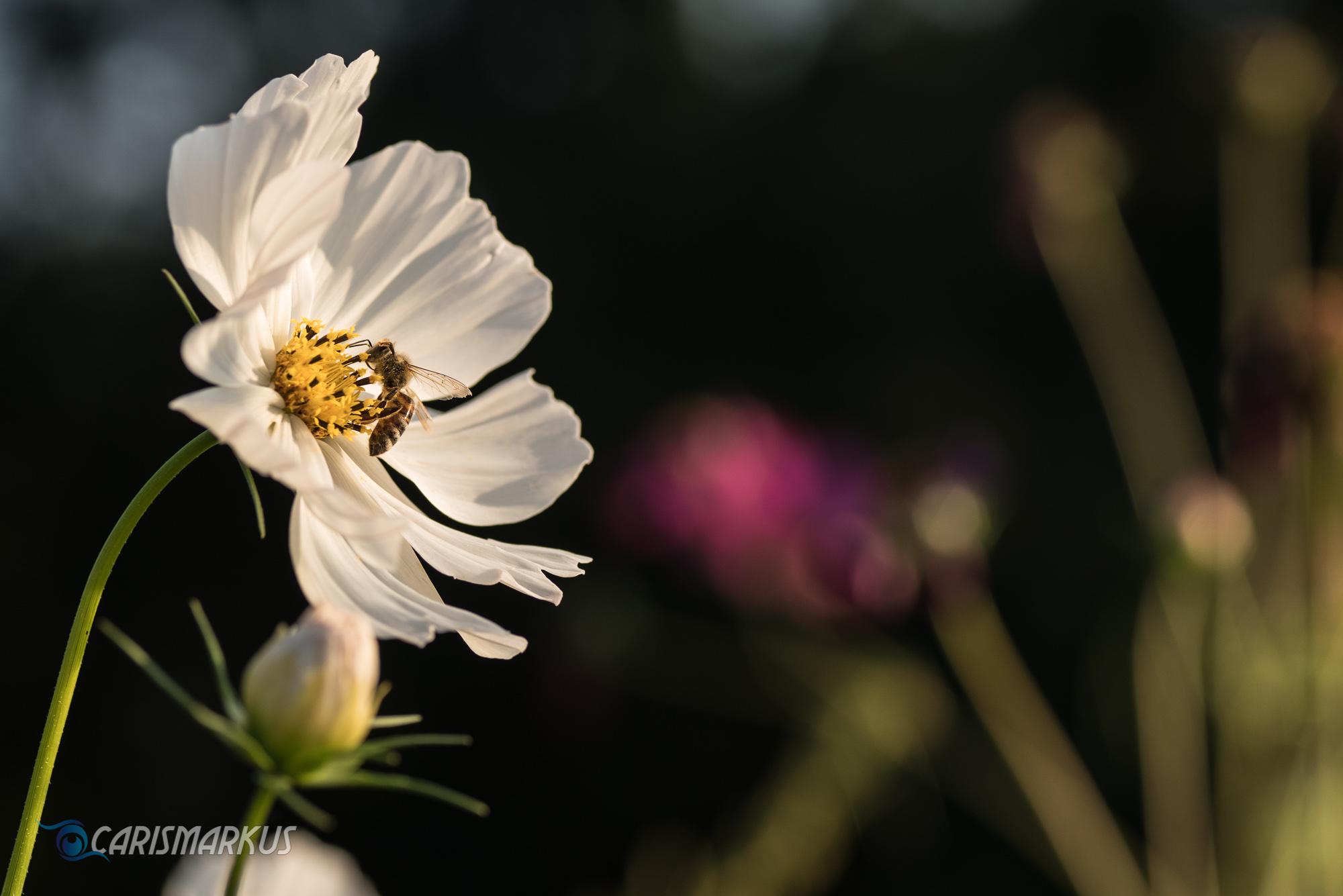 Weiße Blume mit Wildbiene